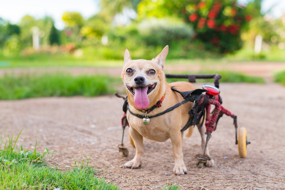 Special Care for Special Pets: How to Care for a Disabled Pet