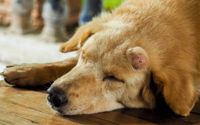 Is Your Pet's Lump Cause for Concern? Signs of 5 Common Cancers in Pets